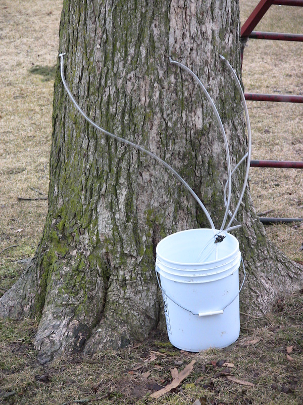 83205c263bf Attach your line to each tap. Put the end of the line into your bucket. You  only need one 5-gallon bucket for each tree. Therefore multiple taps can  drain ...